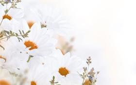Обои цветы, flowers, листики, leaves, white chrysanthemum, белые-хризантемы