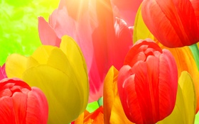Обои цветы, текстура, лепестки, тюльпаны