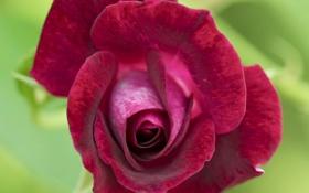 Обои макро, роза, лепестки, бутон, бархатная