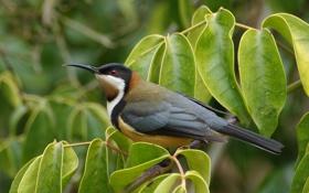 Картинка листья, птица, восточный шилоклювый медосос, ветка, Eastern Spinebill
