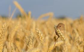 Картинка лето, природа, Harvest Mouse