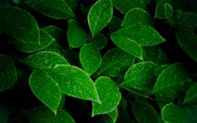 Обои зелень, листья, куст, темные