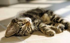 Картинка кошка, кот, взгляд, лежит, киса, Cat, Kitten