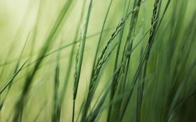 Картинка зелень, лето, трава, макро, природа, фото, фон
