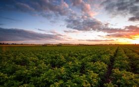 Картинка поле, пейзаж, закат, картошка
