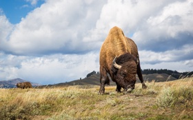 Обои мощь, пастбище, рога, бизон