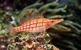 Обои красные, red, подводный мир, тропический, underwater, tropical, coral