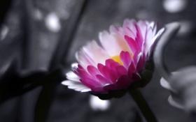 Картинка цветок, обои, фото, цветение, розовые, лепестки, wallpapers