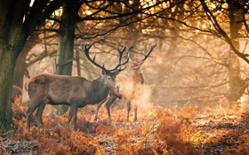 Обои осень, лес, солнце, свет, рога, олени