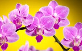 Обои цветы, желтый, фон, розовые, орхидеи