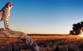 Картинка небо, пейзаж, дерево, панорама, гепард, саванна