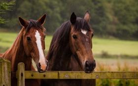 Обои морда, кони, ограда, лошади, пара, загон