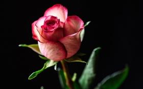 Картинка листья, фон, роза, лепестки, бутон