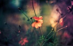 Обои красный, цветок, роса