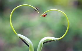 Обои сердце, насекомое, растение, божья коровка