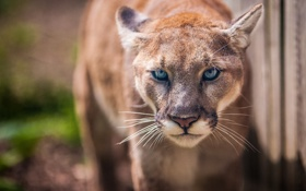 Картинка пума, дикая кошка, кугуар, взгляд, горный лев