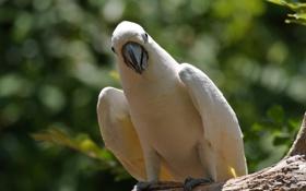 Картинка птица, попугай, какаду