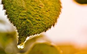 Обои капля, зеленый, лист, утро