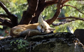 Картинка fox, nature, animal