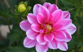 Обои цветение, георгин, flowering, Dahlia