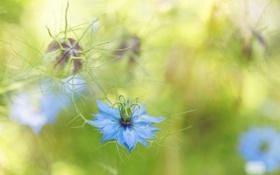 Обои цветок, голубой, размытость, бутон