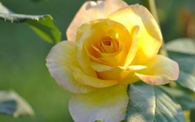 Картинка роза, жёлтая, лепестки, бутон, жёлтая роза