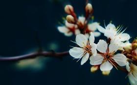 Обои Цветы, сакура, белые