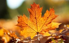 Картинка осень, желтый, лист, клен