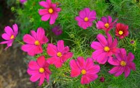Обои природа, лепестки, сад, луг, космея