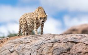 Картинка природа, гепард, зверь