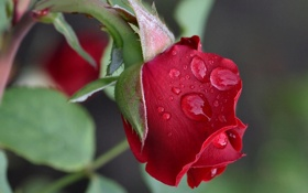 Картинка капли, макро, роза, бутон
