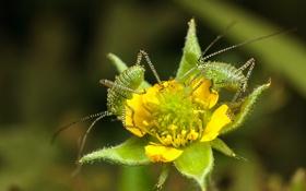 Обои цветок, насекомые, боке, кузнечики