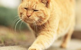 Обои лапа, рыжий, котяра, усы
