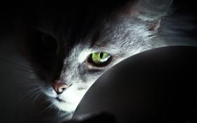 Обои кот, взгляд, свет, зеленый, глаз, шерсть
