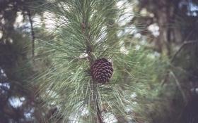 Картинка дерево, ветка, шишка