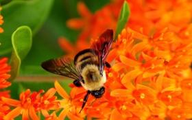 Обои пчела, нектар, собирает, цветы