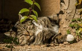 Обои кот, котяра, кошак, лежит