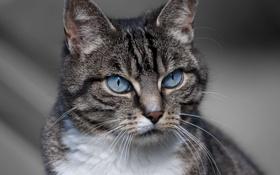 Обои кошка, взгляд, животное, окрас, уши, голубые глаза