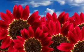 Обои красные, Подсолнух, небо
