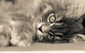 Картинка глаза, кот, взгляд, лапа, пушистый, лежит, котёнок