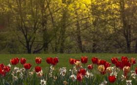 Картинка трава, деревья, парк, тюльпаны