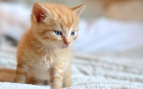 Обои котёнок, малыш, рыжий, мордочка, взгляд