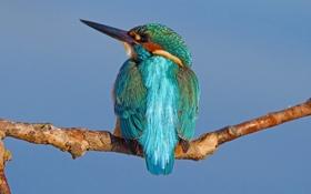Обои зимородок, клюв, птица, ветка, перья, цвет