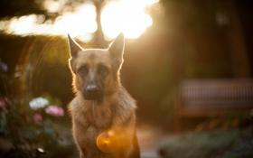 Картинка взгляд, свет, друг, собака
