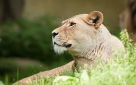 Обои кошка, трава, морда, профиль, львица