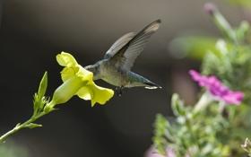Картинка цветок, желтый, нектар, колибри, петуния