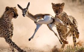 Картинка гепард, саванна, охота, африка