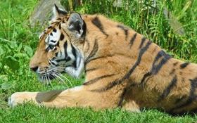 Картинка трава, тигр, отдых, хищник