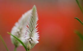 Обои оранжевый фон, Celosia argentea, белый, макро, цветок