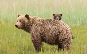 Картинка трава, медвежата, семейство, медведица, бурая